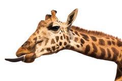 Жираф показывая язык Стоковые Фотографии RF