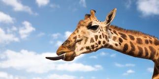 Жираф показывая язык Стоковое фото RF
