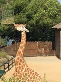 Жираф подавая вверх по максимуму Стоковое Изображение RF