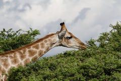 Жираф подавая на дереве Стоковые Фото