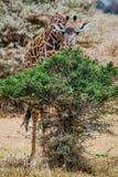 Жираф подавая на некоторых листьях Стоковое фото RF