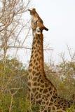 Жираф подавая от верхних ветвей Стоковое фото RF
