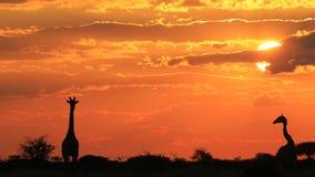 Жираф - предпосылка живой природы - влюбленность природы и золотые заходы солнца Стоковое фото RF