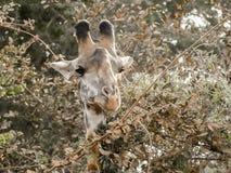 Жираф просматривая на листьях Стоковое Изображение