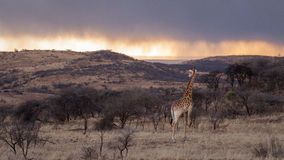 Жираф рассматривая Африка Стоковые Изображения