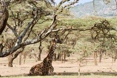 Жираф сидя вниз мир Herit зоны NCA консервации Ngorongoro Стоковые Фото