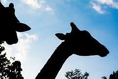 Жираф силуэта Стоковые Изображения