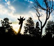 Жираф силуэта Стоковая Фотография RF