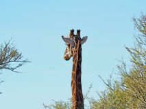 Жираф среди деревьев акации стоковые фотографии rf