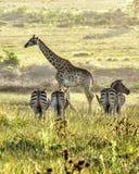 Жираф стоя высокоросла Стоковое Изображение RF