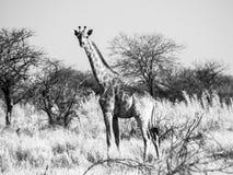 Жираф стоя в саванне Африканская сцена сафари живой природы в национальном парке Etosha, Намибии, Африке черная белизна Стоковые Изображения