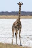 Жираф стоя в фронте стоковые изображения rf