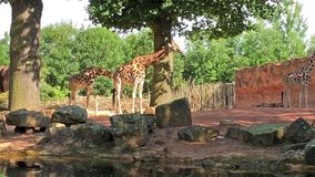 Жираф 3 стоя и наблюдая окружать видеоматериал