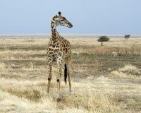 Жираф стоя с газелем 2 Томпсонов на заднем плане Стоковое фото RF