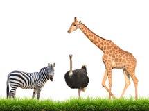 Жираф страуса зебры при зеленая изолированная трава стоковые фотографии rf