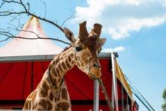 Жираф с унылыми глазами Стоковое Изображение RF