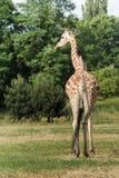 Жираф угрожаемого Rothschild подвида жирафа идет на предпосылку кустов зеленого цвета в зоопарке Варшавы Стоковые Фото
