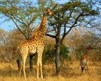 Жираф Стоковое Изображение