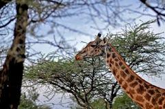 Жираф Стоковое фото RF