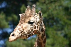 Жираф 8 Стоковая Фотография RF