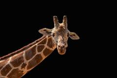 Жираф Стоковая Фотография RF