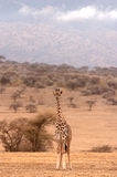 Жираф Стоковое Изображение RF