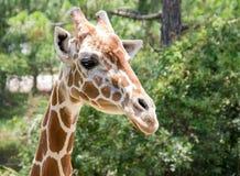 Жираф 6 Стоковое Изображение
