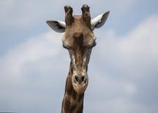 Жираф Стоковое Фото