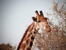 Жираф стоковая фотография