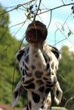 Жираф Стоковые Изображения