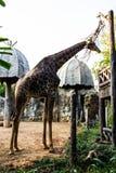 Жираф Стоковые Фото