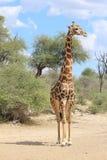 Жираф Bull - голубые небеса и африканец Солнце Стоковая Фотография