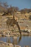 Жираф, camelopardalis Giraffa, в национальном парке Etosha, Намибия Стоковая Фотография RF