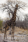 Жираф, camelopardalis Giraffa, в национальном парке Etosha, Намибия Стоковые Фотографии RF