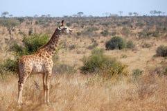 Жираф (camelopardalis Giraffa) Стоковые Изображения RF