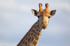 Жираф (camelopardalis Giraffa) Стоковые Фотографии RF