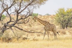 Жираф Kalahari Стоковая Фотография RF