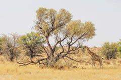 Жираф Kalahari Стоковые Изображения RF