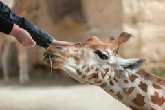 Жираф Kordofan (antiquorum camelopardalis Giraffa) стоковые изображения