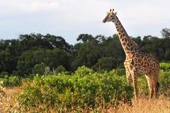 Жираф Mara Masai Стоковые Изображения RF