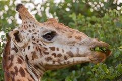 Жираф Masai есть акацию стоковая фотография rf