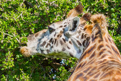 Жираф Masai есть листья акации Стоковое Изображение RF