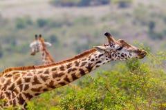 Жираф Masai есть листья акации Стоковые Фото