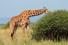 Жираф Masai Стоковое фото RF