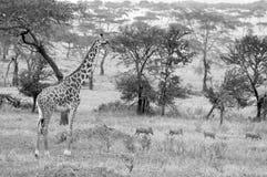 Жираф Masai Стоковые Фото