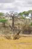 Жираф Masai Стоковое Фото
