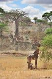 Жираф Masai Стоковая Фотография