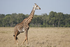 Жираф Masai Стоковые Фотографии RF