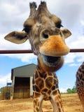 Жираф pt2 Стоковые Изображения RF