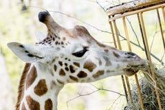 Жираф Rothschild ест высушенное сено Стоковая Фотография